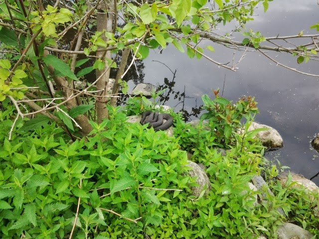 Snake Near the water at Celery Farm Allendale New Jersey Bergen